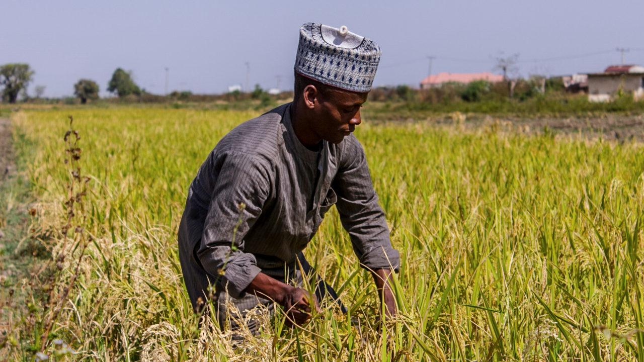 https://www.westafricanpilotnews.com/wp-content/uploads/2020/01/Rice-production_Nigeria-1280x720.jpg
