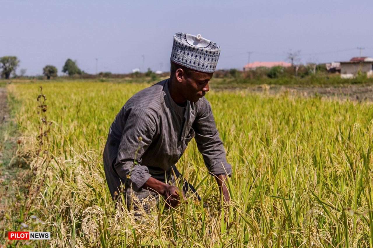 https://www.westafricanpilotnews.com/wp-content/uploads/2020/01/Rice-production_Nigeria-1280x853.jpg