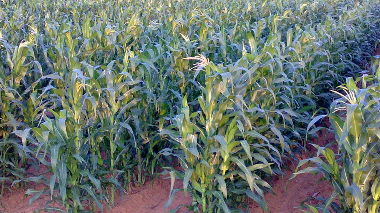 https://www.westafricanpilotnews.com/wp-content/uploads/2020/05/Anambra-Maize-Farmers-1280x720.jpg