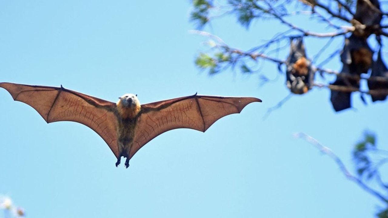 https://www.westafricanpilotnews.com/wp-content/uploads/2020/05/Bats-Covid-19-05-1280x720.jpg