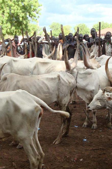 Adamawa State Govt Resuscitates Vaccination Of Livestock