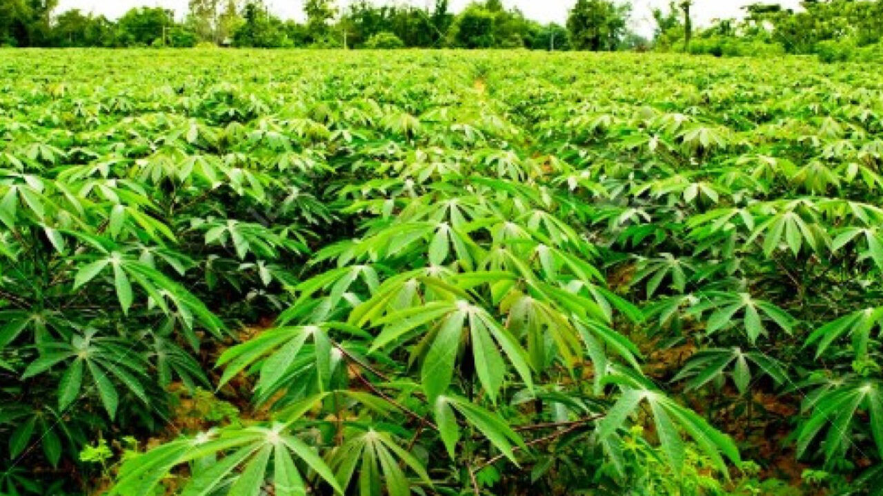 https://www.westafricanpilotnews.com/wp-content/uploads/2020/11/Agriculture-Going-into-the-Cassava-Farming-Business-nigeria-11-28-20-File-Photo-1280x720.jpg