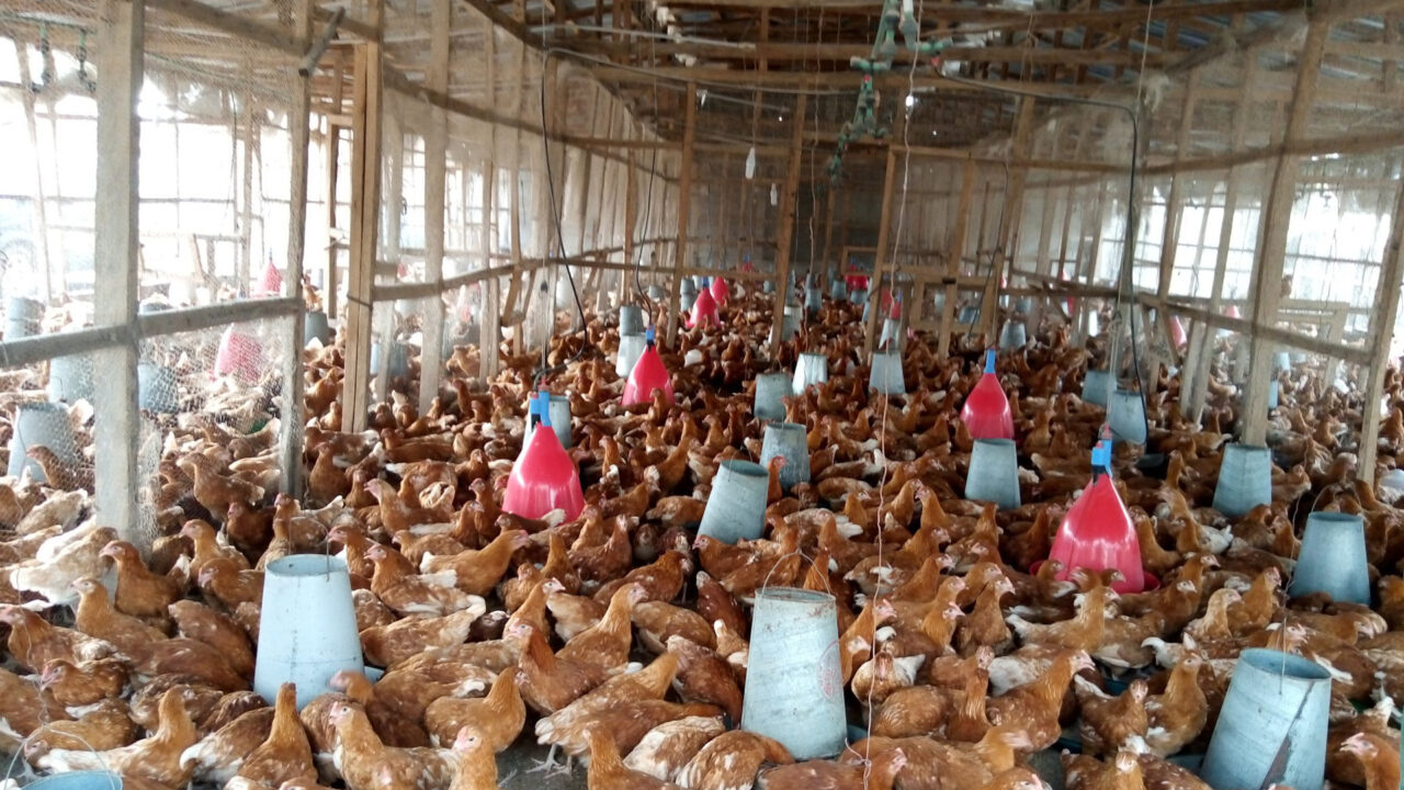 https://www.westafricanpilotnews.com/wp-content/uploads/2021/02/Poultry-File-Photo-Source-Farm-Cost-of-Feed-2-23-21-1280x720.jpg