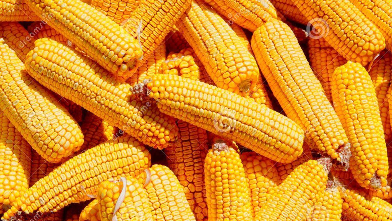 https://www.westafricanpilotnews.com/wp-content/uploads/2021/07/Corn-cobs-maize-seed-closeup-grains-ripe_File-1280x720.jpg