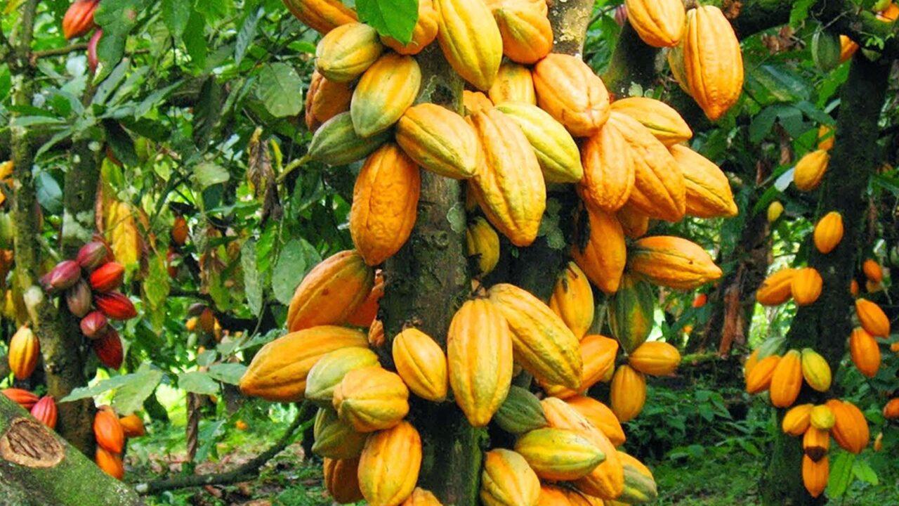 https://www.westafricanpilotnews.com/wp-content/uploads/2021/08/Cocoa-Farming-Seedling_file_8-4-21-1280x720.jpg