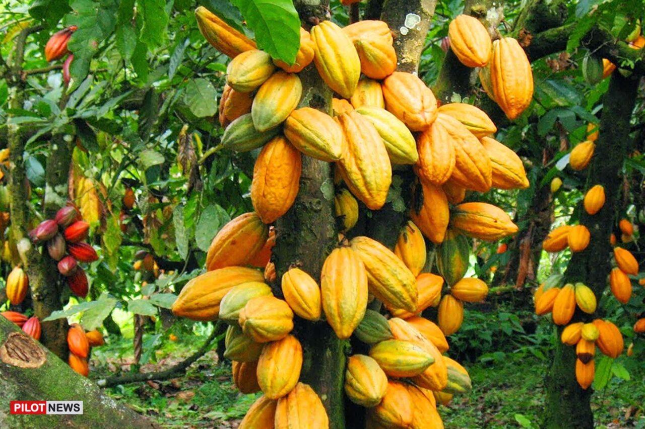 https://www.westafricanpilotnews.com/wp-content/uploads/2021/08/Cocoa-Farming-Seedling_file_8-4-21-1280x853.jpg
